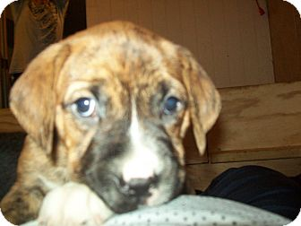 Mastiff/Pit Bull Terrier Mix Puppy for adoption in Mechanicsburg, Pennsylvania - Wendy Testaburger