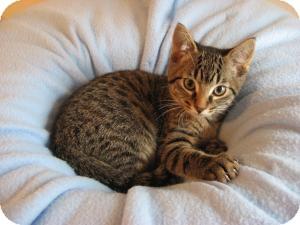 Domestic Shorthair Kitten for adoption in Eagan, Minnesota - Boston