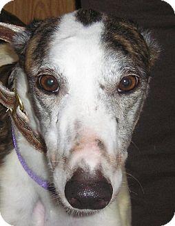 Greyhound Dog for adoption in Tucson, Arizona - CASEY