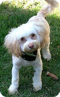 Havanese/Poodle (Toy or Tea Cup) Mix Dog for adoption in Mission Viejo, California - BAXTER