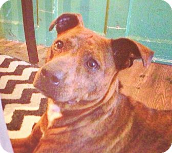 Boxer/Terrier (Unknown Type, Medium) Mix Dog for adoption in Kingwood, Texas - Ella