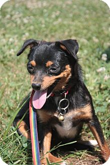 Chihuahua/Miniature Pinscher Mix Dog for adoption in Stilwell, Oklahoma - Maggie