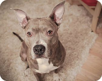 American Staffordshire Terrier/Pit Bull Terrier Mix Dog for adoption in Dixon, Illinois - Sophie