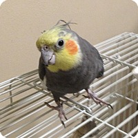 Adopt A Pet :: Sampson - St. Louis, MO