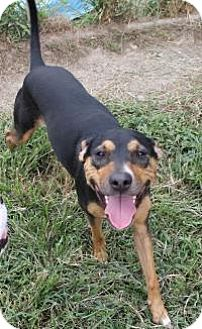 Rottweiler Dog for adoption in Memphis, Tennessee - Elvis