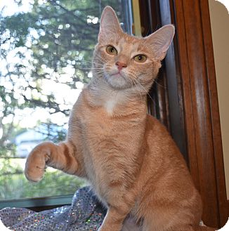 American Bobtail Cat for adoption in Bristol, Connecticut - Sophia