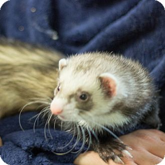 Ferret for adoption in Balch Springs, Texas - Snacks