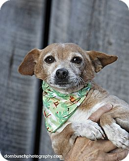 Chihuahua Mix Dog for adoption in Heber City, Utah - Jimmy