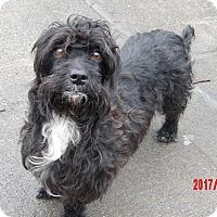 Adopt A Pet :: Daisy(15 lb) True Lap-Baby! - SUSSEX, NJ