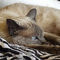Siamese Cat for adoption in Monrovia, California - Barbie