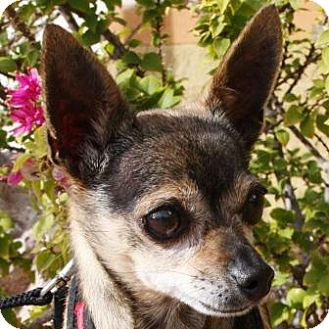 Chihuahua Mix Dog for adoption in Gilbert, Arizona - Riley