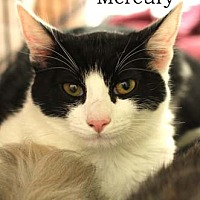 Adopt A Pet :: Mercury - Merrifield, VA