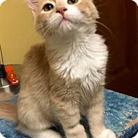 Domestic Mediumhair Cat for adoption in Long Beach, California - Lambert