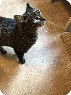 Domestic Shorthair Cat for adoption in Hanna City, Illinois - Sunny
