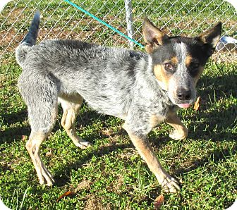 Blue Heeler/Shepherd (Unknown Type) Mix Dog for adoption in Reeds Spring, Missouri - Roper