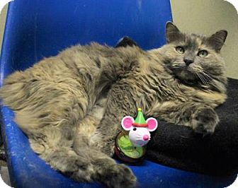 Domestic Longhair Cat for adoption in West Des Moines, Iowa - Nara