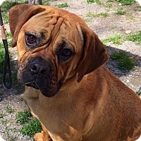Adopt A Pet :: Beau - Jackson, NJ