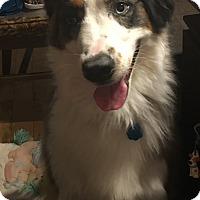 Adopt A Pet :: azul - Parker, KS