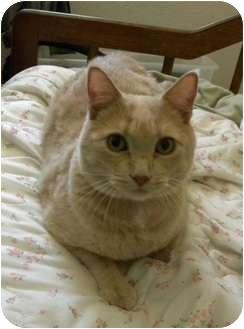 Domestic Shorthair Cat for adoption in Mesa, Arizona - Buffy