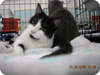 Domestic Shorthair Cat for adoption in Riverside, Rhode Island - Gavin