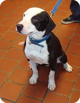 Pointer/Basset Hound Mix Dog for adoption in Tallahassee, Florida - Dominic