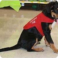 Adopt A Pet :: BJ - Gilbert, AZ