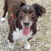 Australian Shepherd Mix Dog for adoption in Holden, Missouri - Jack