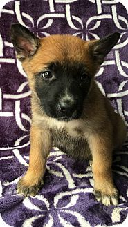 German Shepherd Dog/Australian Shepherd Mix Puppy for adoption in Carson, California - PAISLEY