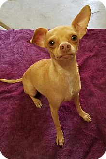 Chihuahua Mix Dog for adoption in Monrovia, California - Dina
