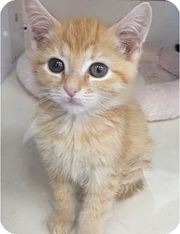 Domestic Shorthair Kitten for adoption in Plainville, Connecticut - Nick