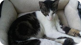 British Shorthair Cat for adoption in Miami, Florida - Savyy