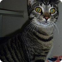 Adopt A Pet :: Whiskers - Hamburg, NY