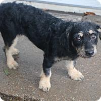 Adopt A Pet :: Arbuckle - Norwalk, CT