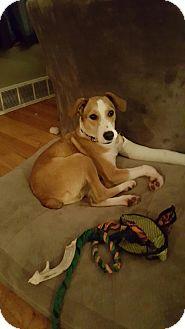 Sheltie, Shetland Sheepdog/Beagle Mix Puppy for adoption in Avon, Ohio - Champer
