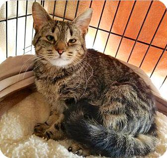 Domestic Shorthair Cat for adoption in Lakewood, Colorado - Khali