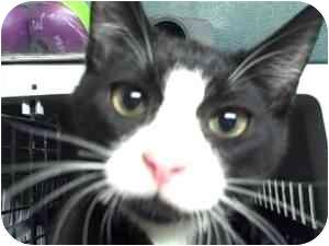 Domestic Shorthair Kitten for adoption in Moses Lake, Washington - Sammy & Lila