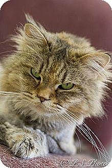 Maine Coon Cat for adoption in Belton, Missouri - Amanda