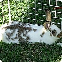 Adopt A Pet :: Mr. Nibbs - Little Rock, AR