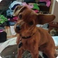 Adopt A Pet :: PJ - Minneapolis, MN