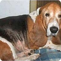 Adopt A Pet :: Olivia - Phoenix, AZ