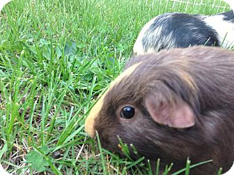 Guinea Pig for adoption in Valparaiso, Indiana - Annie