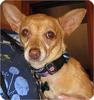 Chihuahua Mix Dog for adoption in Salem, Oregon - Novia