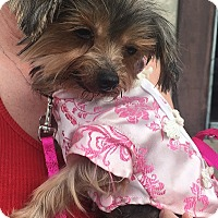 Adopt A Pet :: Sugar Pie - Rancho Palos Verdes, CA