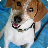Beagle/Jack Russell Terrier Mix Dog for adoption in Studio City, California - Prince Harry