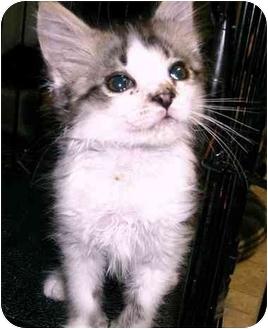 Domestic Mediumhair Kitten for adoption in Chilhowie, Virginia - Crusty