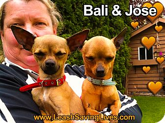 Chihuahua Mix Dog for adoption in Pitt Meadows, British Columbia - Bali