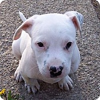 Adopt A Pet :: Gus - Rochester, NY