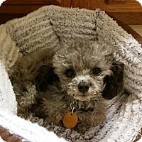Adopt A Pet :: Ozzie - North Little Rock, AR