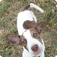 Adopt A Pet :: Lace - Chewelah, WA