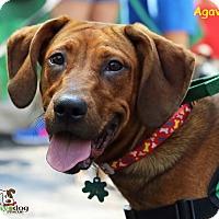 Adopt A Pet :: Agave - Alpharetta, GA